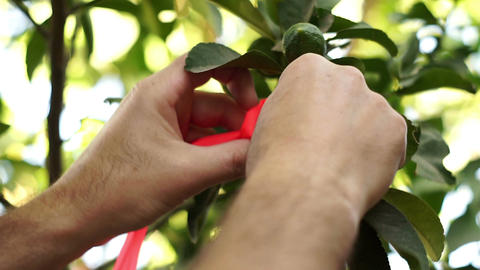 Agriculture Grower Ties Ribbon to Citrus Tree Branch Footage