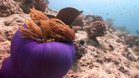 Symbiosis of clown fish and anemones. Diving on the reefs of the Maldives archip Live Action