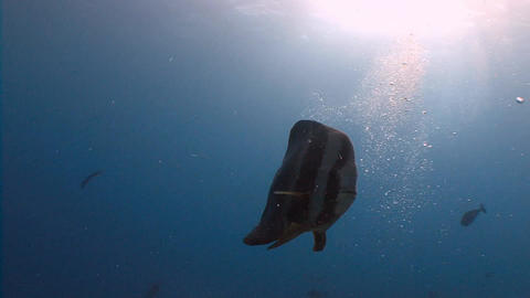 Batfish in a strong current. Diving on the reefs of the Maldives archipelago Footage