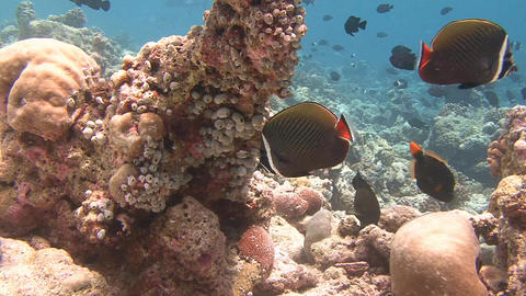 Picturesque colorful coral reef. Butterflyfish. Diving on the reefs of the Maldi Live Action