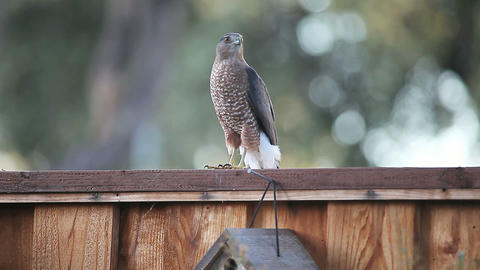 Hawk on a backyard fence Footage