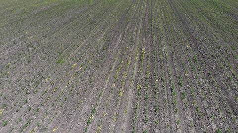 Loose soil between corn rows. A field of young corn. Corn sprouts. A field in Live Action