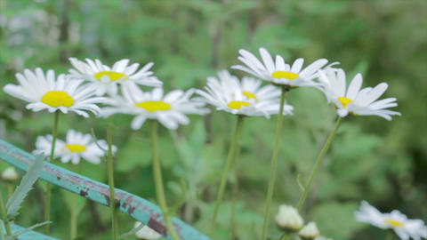 Footage of camomile flowers on a meadow footage Archivo