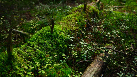 Pine forest ground covered with a dense layer of moss Footage