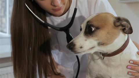 Female veterinarian checks up the dog's breath Footage