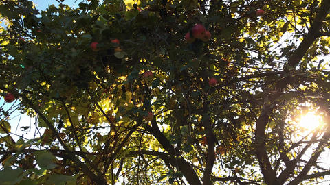 Juicy apples on a tree branch in the garden. Apple tree in the evening Footage