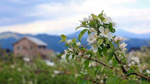 Blossom apple tree in the mountains village at the spring Footage