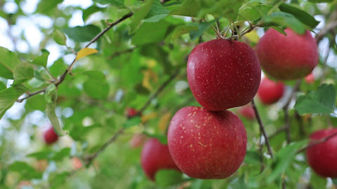 Red ripe delicious apples Footage