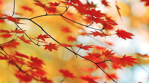 Japanese red maple twigs with yellow foliage in the background Footage