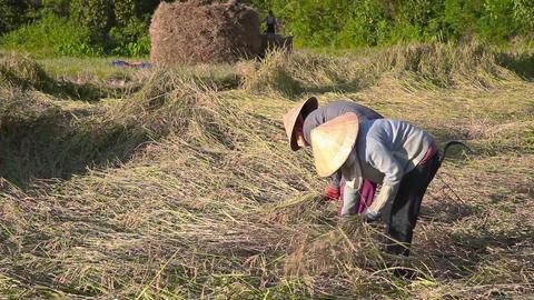 Farmers harvest on a rice field Footage