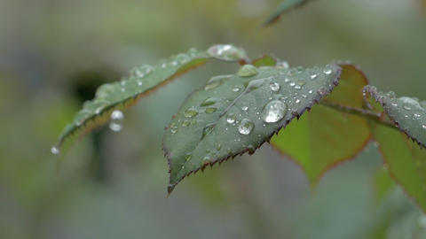 Beautiful Nature Background With Raindrops And Wet Rose Leaf Footage