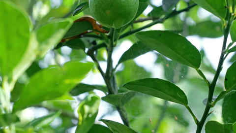 4k Tilt-up shot, The lemon fruit on its tree Footage