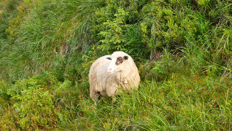 Sheep walking across farmland in New Zealand South Island Footage