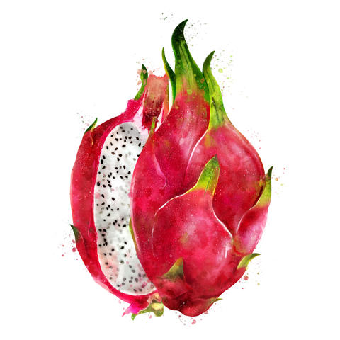 Dragon Fruit on white background. Watercolor illustration Photo