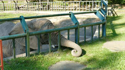The African bush elephant at zoo is is collecting and eating grass Footage