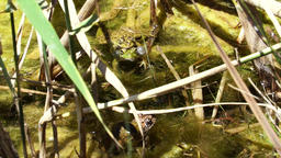 2x2 frogs inmidst of reed Footage