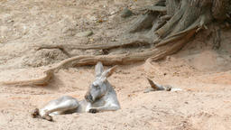 The red kangaroos are resting in shadow. Macropus rufus Live Action