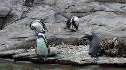 Humboldt penguins, spheniscus humboldti Footage