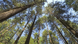Huge forest trees. The sun shines on the high trees in a forest Footage