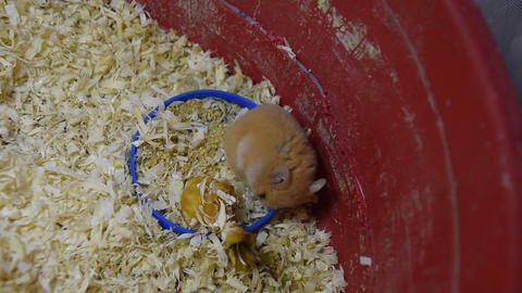 Hamster home in keeping in captivity. Hamster in sawdust. Red hamster Footage