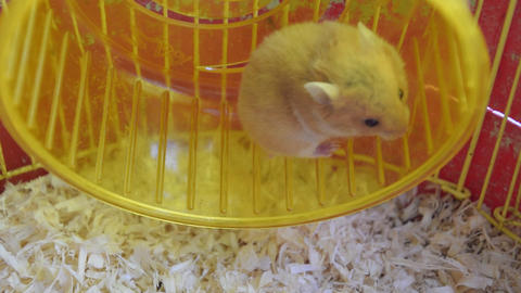 Hamster home in keeping in captivity. Hamster running wheel. Red hamster Footage