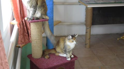 Mainecoon cat, Giant maine coon cat. Breeding of purebred cats at home Live Action