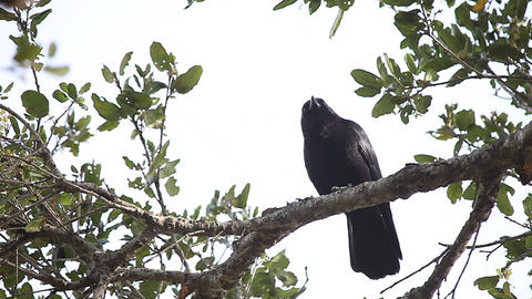 Watchful crow in oak tree Footage