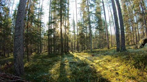 Sun blinking behind trees in coniferous forest Footage