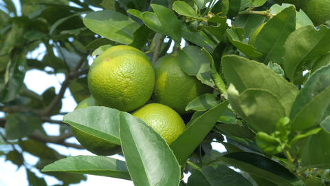 Close up shot fresh and nature unripe green lemon on the tree, green lime in Footage