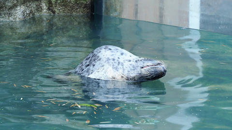 Harbor Seal (Phoca vitulina) with his head above blue water Live Action