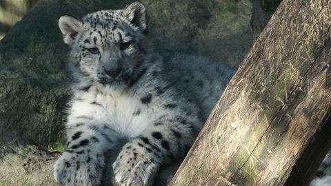 Kitten of snow leopard - Irbis (Panthera uncia) watches the neighborhood Footage