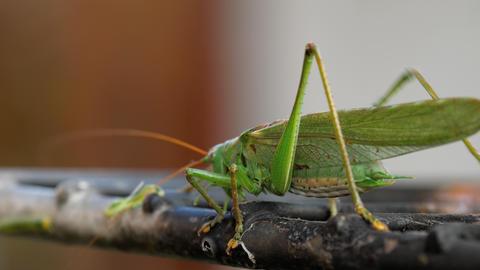 Big green locust male Footage