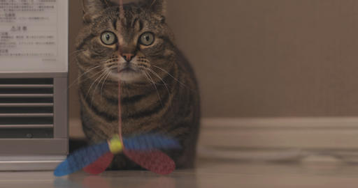 Cat plays toy in living room close shot ライブ動画