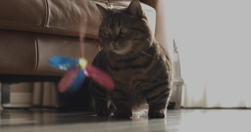 Cat plays toy in the house close shot ライブ動画