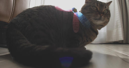Cat plays toy in the house standard focus ライブ動画