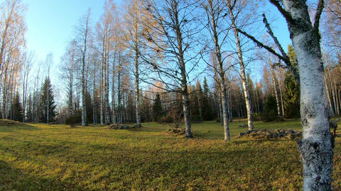 Birch trees at meadow in autumn Live Action