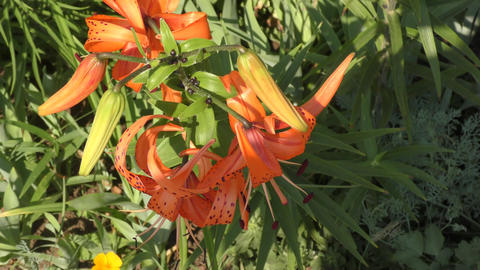 Tiger Lily or Lily lance-leaved Footage