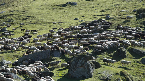 Sheep grazing on the hill Footage