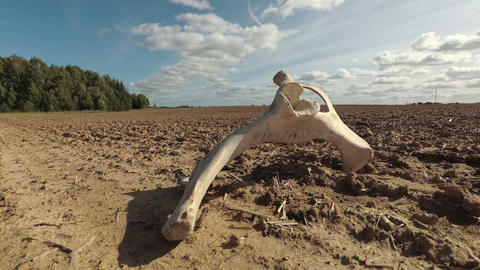 Domestic animal mammal bone on dry field in autumn drought and clouds motion, time lapse Live Action