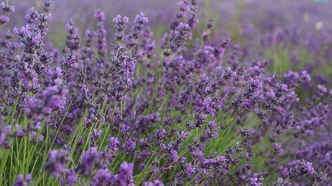 The Lavender Fields, Live Action