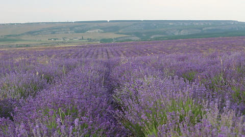 The Lavender Fields Footage