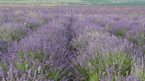 The Lavender Fields Stock Video Footage