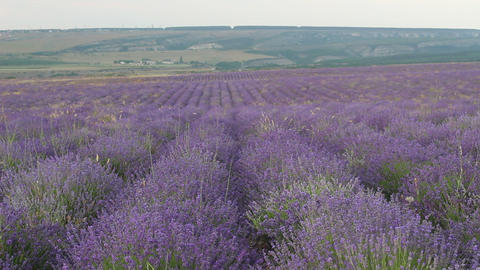 The Lavender Fields Live Action