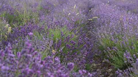 Closeup Of Lavender Plants In A Field Footage