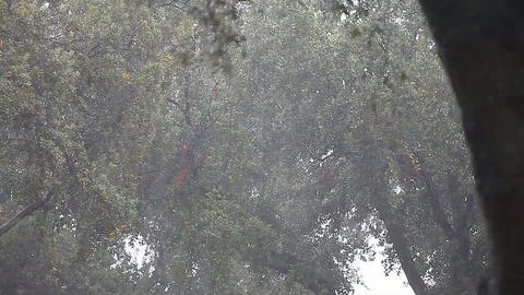 Oak trees in heavy rain Footage