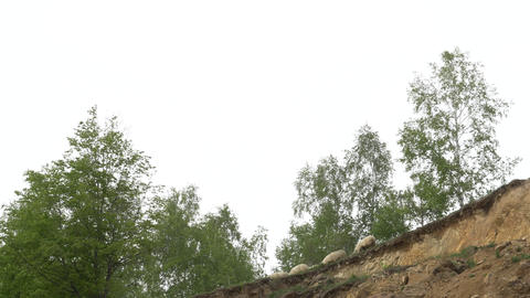 Sheep that graze at the edge of a forest of birches that ends in a deep ravine 5 Footage