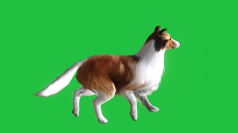 Collie Dog Walking (Animated Green Screen): Loop + Matte Animation