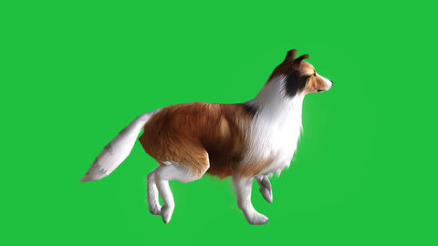 [alt video] Collie Dog Walking (Animated Green Screen): Loop + Matte