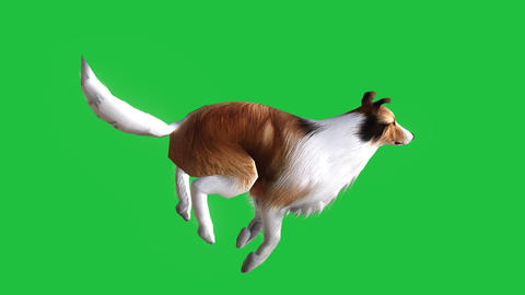 Collie Dog Running (Animated Green Screen): Matte + Loop Videos animados