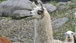 Portrait of llama. Lama glama Live Action